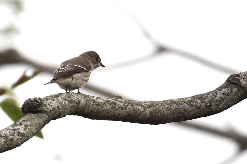 我が市で撮った91番目の鳥/今朝のカワセミ/10月りゅう座流星群_b0024798_1046386.jpg