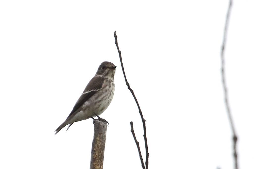 我が市で撮った91番目の鳥/今朝のカワセミ/10月りゅう座流星群_b0024798_10464960.jpg