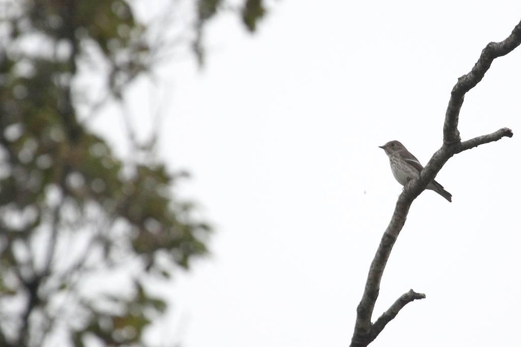 我が市で撮った91番目の鳥/今朝のカワセミ/10月りゅう座流星群_b0024798_10465694.jpg