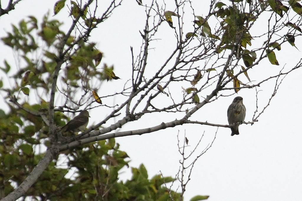 我が市で撮った91番目の鳥/今朝のカワセミ/10月りゅう座流星群_b0024798_10483347.jpg