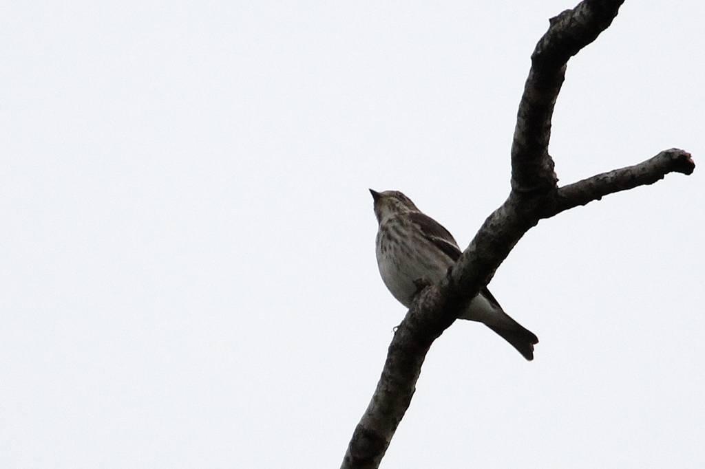 我が市で撮った91番目の鳥/今朝のカワセミ/10月りゅう座流星群_b0024798_1048459.jpg