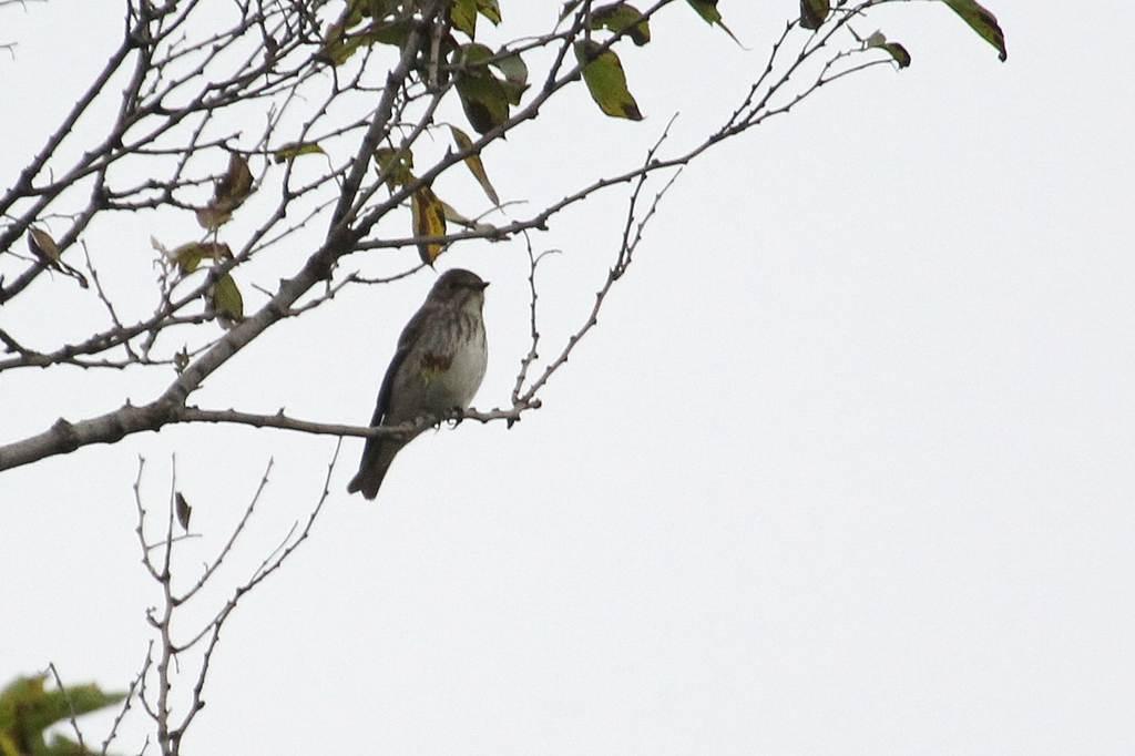 我が市で撮った91番目の鳥/今朝のカワセミ/10月りゅう座流星群_b0024798_1048753.jpg