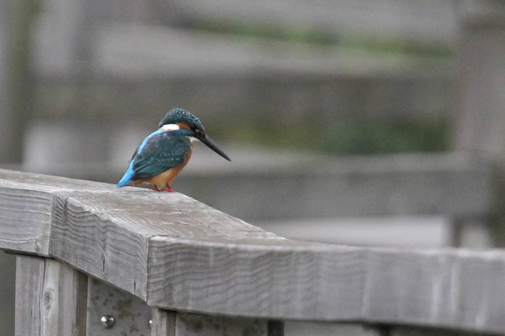 我が市で撮った91番目の鳥/今朝のカワセミ/10月りゅう座流星群_b0024798_10495243.jpg