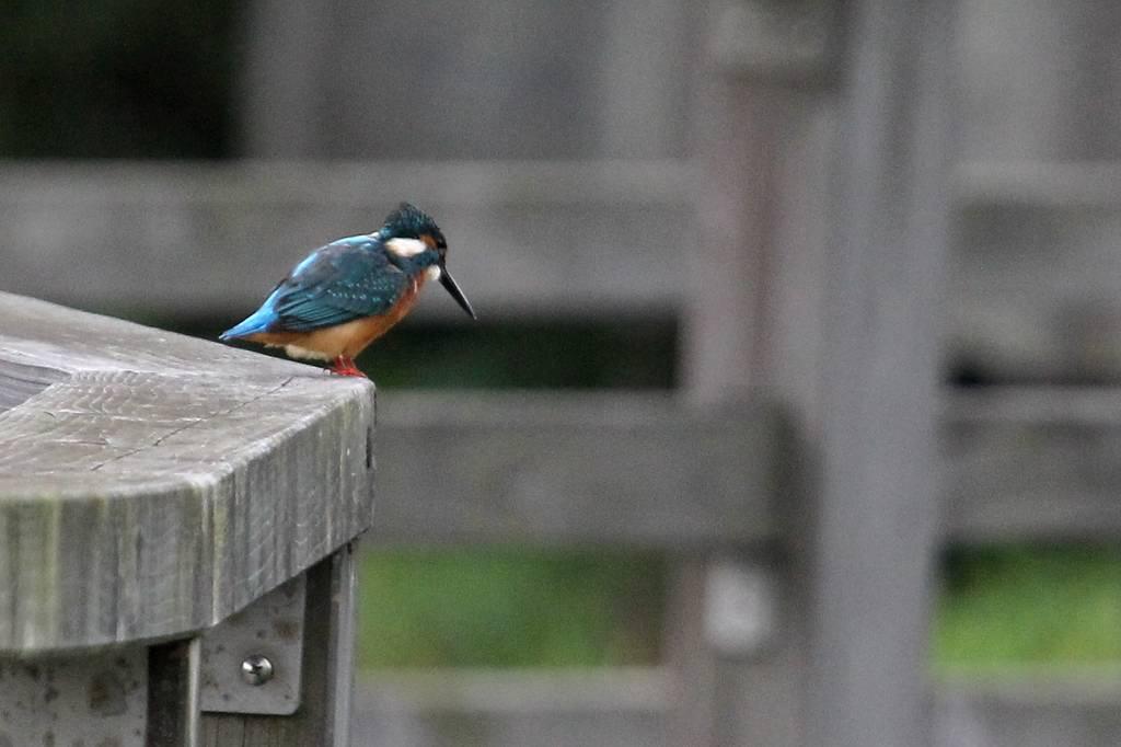 我が市で撮った91番目の鳥/今朝のカワセミ/10月りゅう座流星群_b0024798_105022.jpg