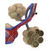 気管支拡張症における気道細菌量は、気道炎症、全身性炎症、気管支拡張症増悪と相関_e0156318_2246178.jpg