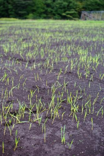 小麦2013と、ハウスの葉物が発芽_c0110869_22125055.jpg