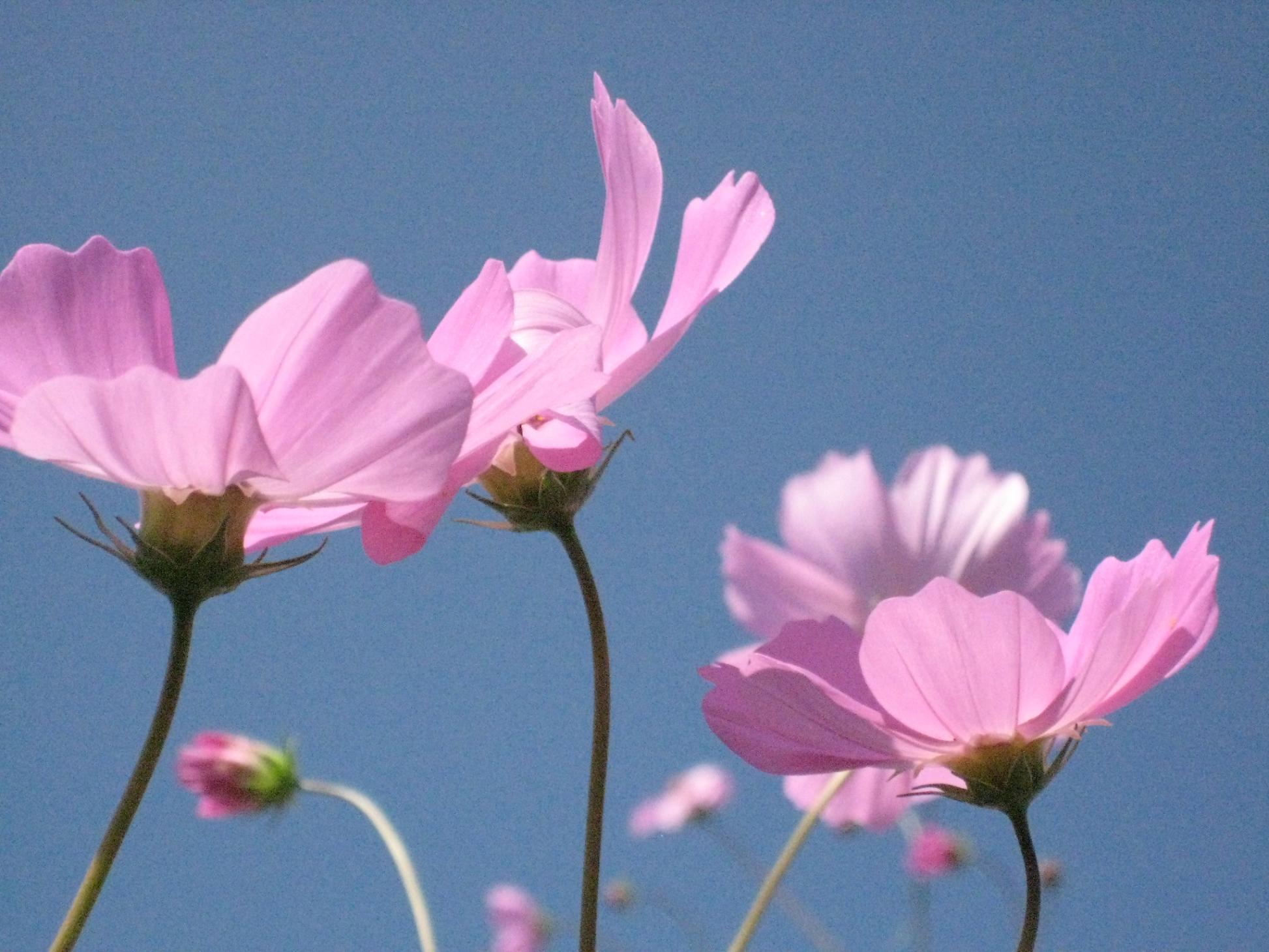 秋桜の咲く頃***_e0290872_532573.jpg