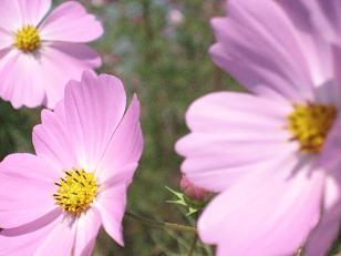 秋桜の咲く頃***_e0290872_6225526.jpg