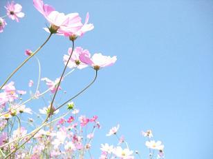 秋桜の咲く頃***_e0290872_6252349.jpg