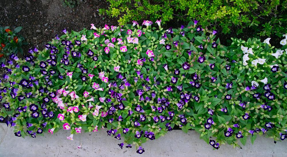 可憐なトレニア ~ゆいの花公園の秋~_c0223825_132988.jpg