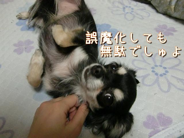【チワワーズ】HAPPY☆BIRTHDAY こなた 4歳_b0122046_19293694.jpg