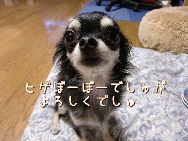 【チワワーズ】HAPPY☆BIRTHDAY こなた 4歳_b0122046_19335560.jpg