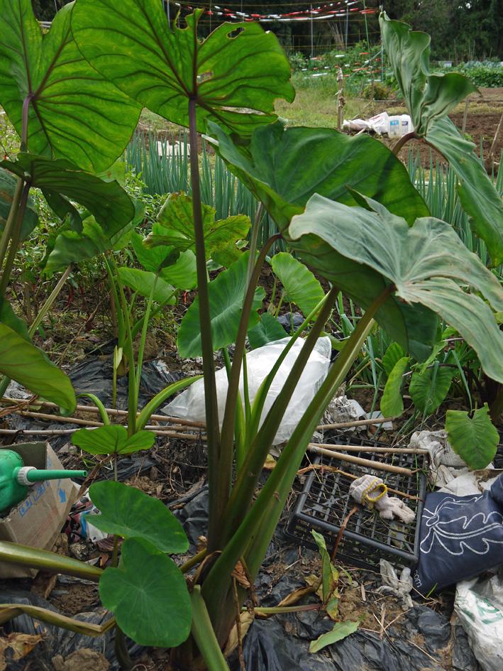 アカメ、エビイモ、ショウガ、冬瓜を初収穫(10・5、10・10)_c0014967_7552797.jpg