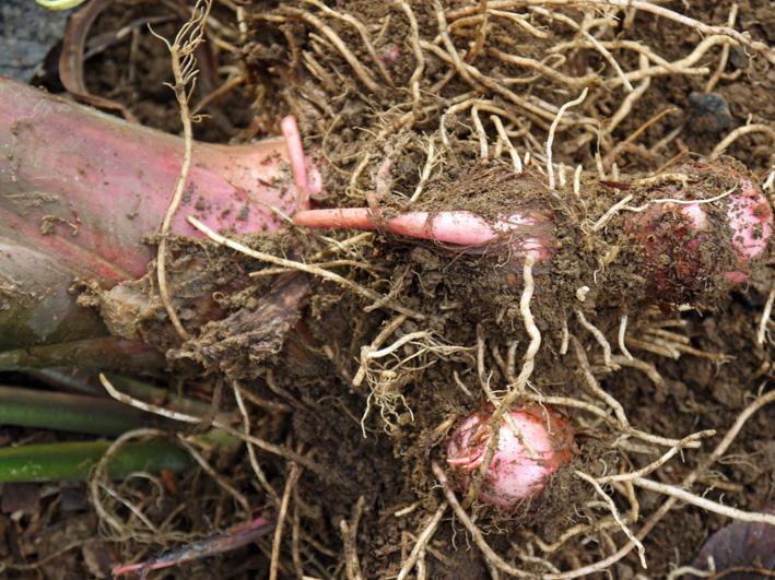 アカメ、エビイモ、ショウガ、冬瓜を初収穫(10・5、10・10)_c0014967_755751.jpg