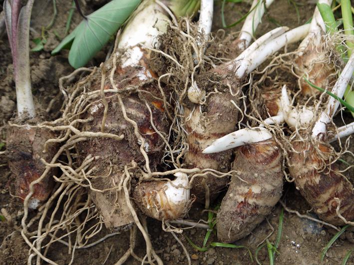 アカメ、エビイモ、ショウガ、冬瓜を初収穫(10・5、10・10)_c0014967_757969.jpg