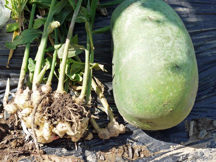 アカメ、エビイモ、ショウガ、冬瓜を初収穫(10・5、10・10)_c0014967_758454.jpg
