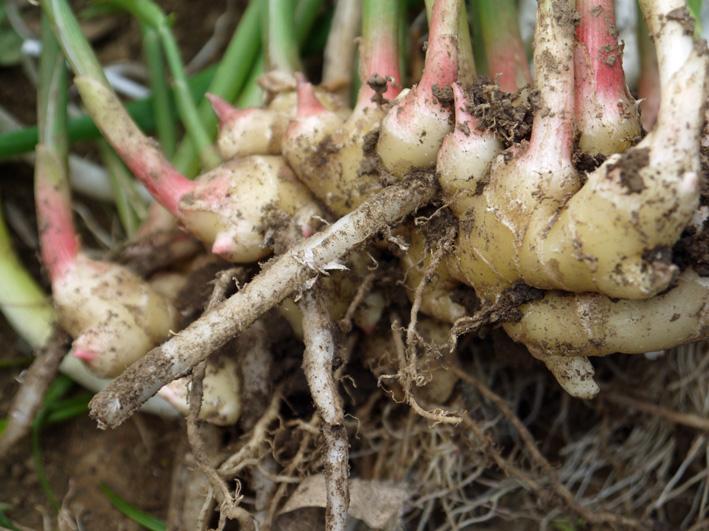 アカメ、エビイモ、ショウガ、冬瓜を初収穫(10・5、10・10)_c0014967_7591195.jpg