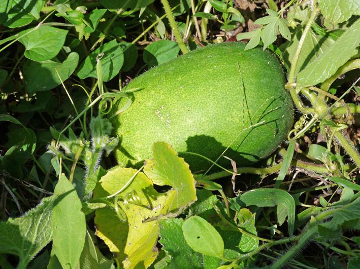 アカメ、エビイモ、ショウガ、冬瓜を初収穫(10・5、10・10)_c0014967_7595369.jpg