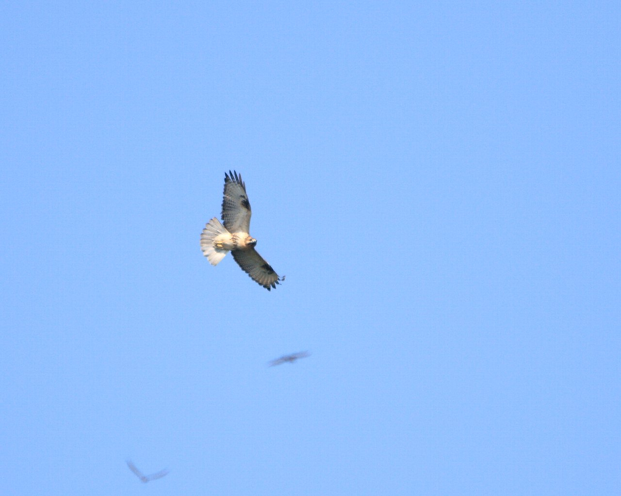 伊良湖遠征報告4: チョウゲンボウ、ハヤブサ、ノスリ、トビ_f0105570_21173025.jpg