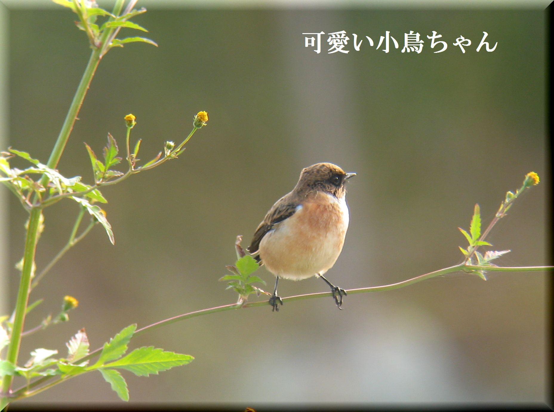 ノビタキちゃんです_e0018678_164048.jpg