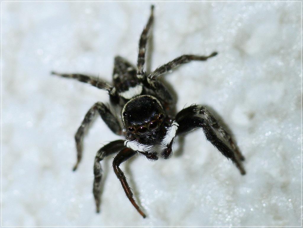 アダンソンハエトリ蜘蛛?_c0188951_182183.jpg