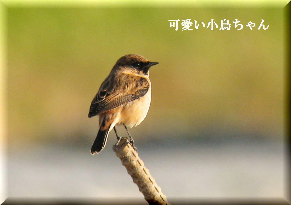 ノビタキちゃんです。_e0018678_11432974.jpg