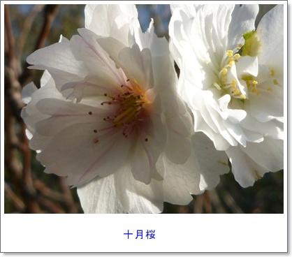 今年も十月桜_b0175688_01352100.jpg