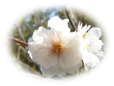 今年も十月桜_b0175688_064579.jpg