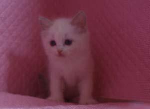 ラグドール 8月30日生まれ ベッサ赤ちゃん 男の子_e0033609_0323847.jpg