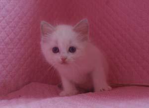 ラグドール 8月30日生まれ ベッサ赤ちゃん 男の子_e0033609_0325059.jpg