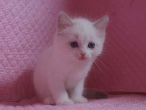 ラグドール 8月30日生まれ ベッサ赤ちゃん 男の子_e0033609_0332584.jpg