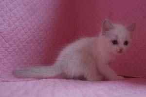 ラグドール 8月30日生まれ ベッサ赤ちゃん 男の子_e0033609_0334024.jpg