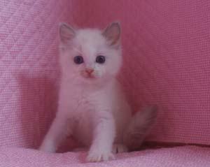 ラグドール 8月30日生まれ ベッサ赤ちゃん 男の子_e0033609_0372572.jpg