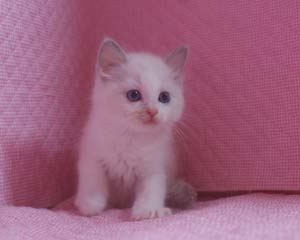 ラグドール 8月30日生まれ ベッサ赤ちゃん 男の子_e0033609_0382468.jpg