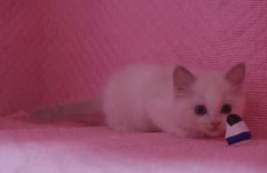 ラグドール 8月30日生まれ ベッサ赤ちゃん 男の子_e0033609_0384679.jpg