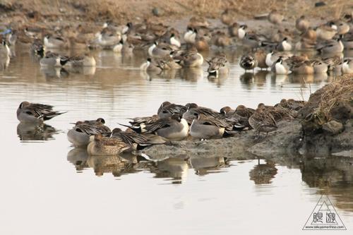 146 米子水鳥公園 ~大当たりの撮影~_c0211532_17344999.jpg