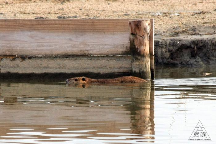 146 米子水鳥公園 ~大当たりの撮影~_c0211532_17402615.jpg