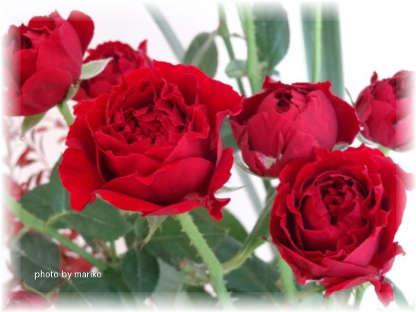 燃ゆる深紅のミニ薔薇_d0165645_93883.jpg
