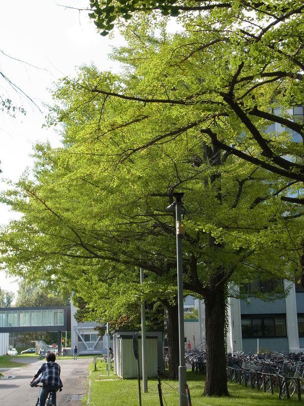 去年と同じくらいのイチョウ並木の黄葉_c0025115_1741264.jpg