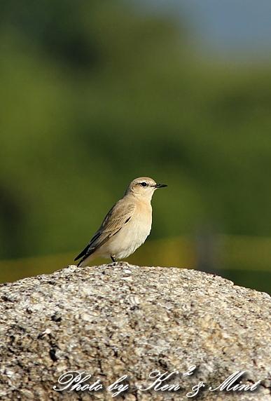 超 珍鳥 「イナバヒタキ」さん♪ ライファー♪_e0218518_22175792.jpg