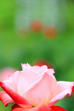 まわりだけが赤いバラ_a0275527_0212314.jpg