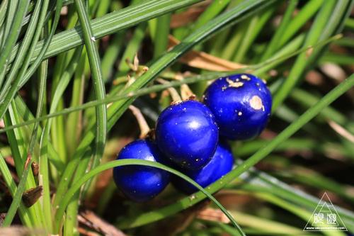 149 髢が瀧 ~群青色のジャノヒゲ~_c0211532_17233758.jpg
