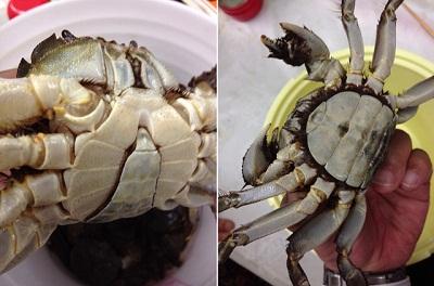 /// 秋の味覚、岸田川の「モクズ蟹」の湯で蟹をいただきました ///_f0112434_1940778.jpg