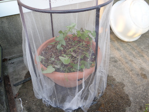 ジャコウアゲハの幼虫_d0254540_1851232.jpg