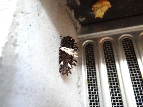 ジャコウアゲハの幼虫_d0254540_18531180.jpg