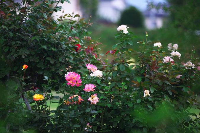 中野市 一本木公園の秋薔薇2_a0263109_2029538.jpg