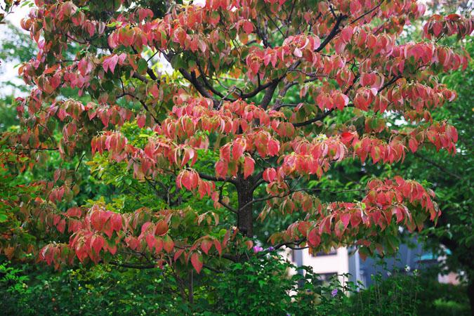 中野市 一本木公園の秋薔薇2_a0263109_20303482.jpg