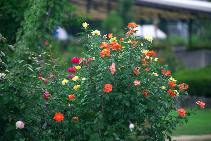 中野市 一本木公園の秋薔薇2_a0263109_20305118.jpg