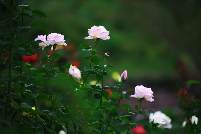 中野市 一本木公園の秋薔薇2_a0263109_2030818.jpg
