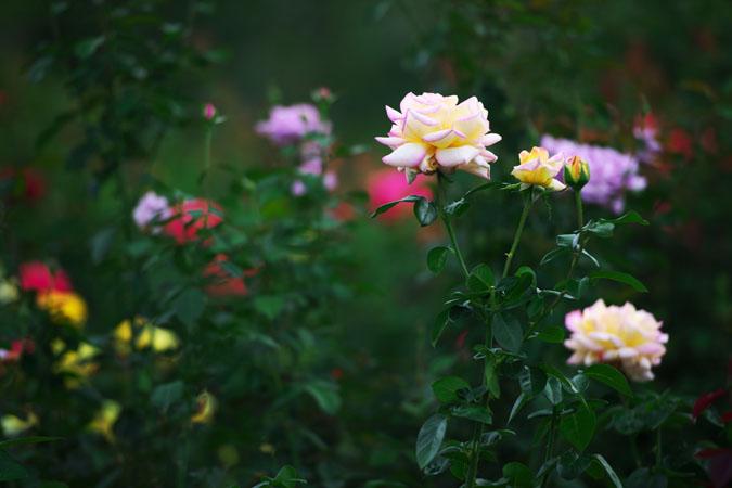 中野市 一本木公園の秋薔薇2_a0263109_2031186.jpg